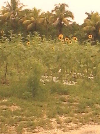 Robert is Here: sunflower They grow.