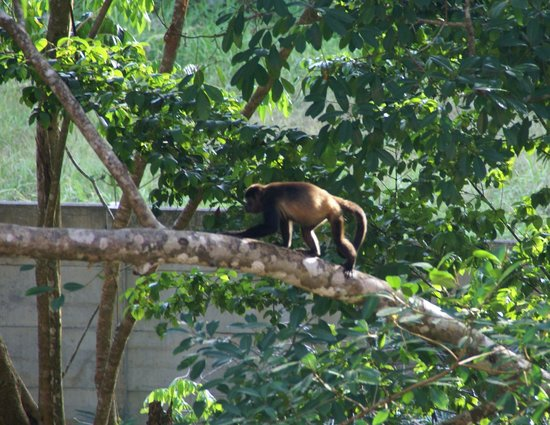 Hotel San Bada: Howler Monkey outside our room
