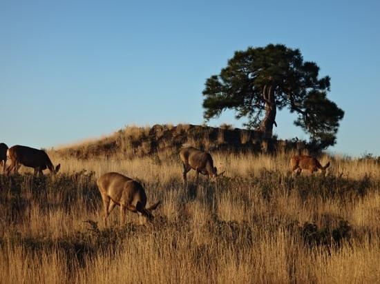 Sun Mountain Lodge: Mule deer at sunrise