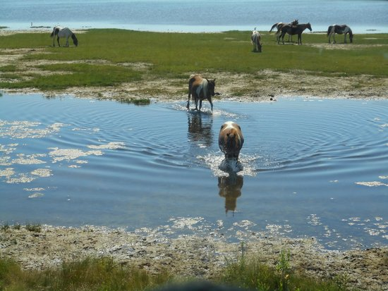 Chincoteague Natural History Association  Wildlife Tour : Ponies in the Water!