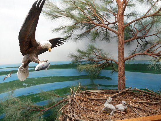 Chincoteague Natural History Association  Wildlife Tour : Museum Exhibit