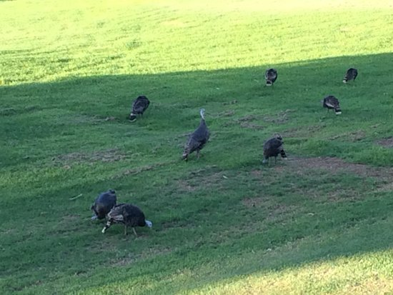 Paniolo Greens Resort: Turkeys every day