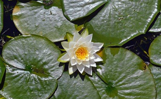 Washington Park Arboretum : Many beautiful lily pads on the lake