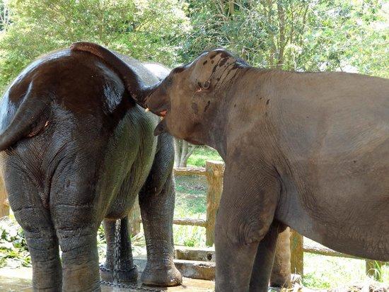Pinnawala Elephant Orphanage: bathing time