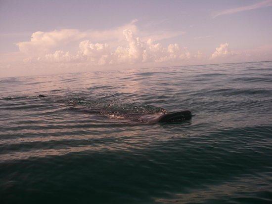 Holbox Whale Shark Tours: Tiburon Ballena desde la lancha