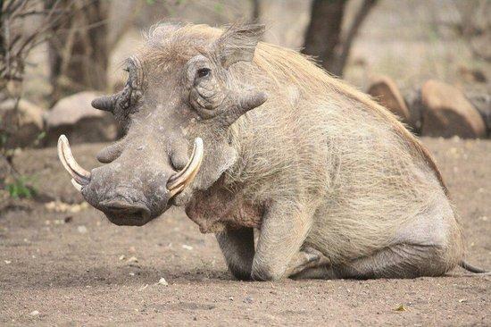 Ulusaba Rock Lodge : Pumba! ;-)