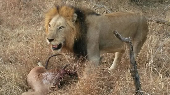 "Thornybush Game Lodge: Leone con ""spuntino"""