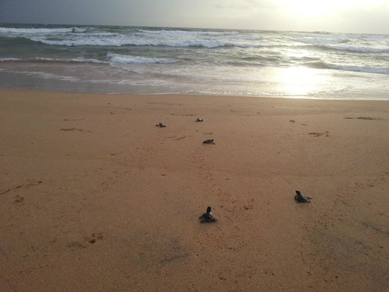 Bentota, Sri Lanka: Releasing green turtles in the evening