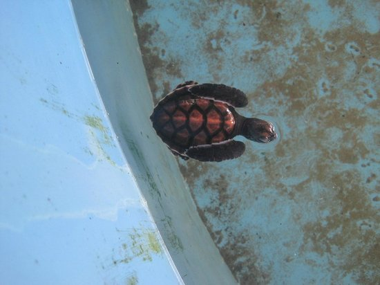 Bentota, Sri Lanka: Baby Hawksbill