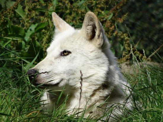 Dublin Zoo: Loup