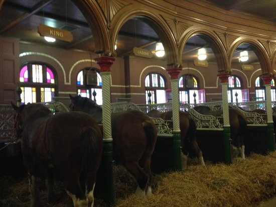 Budweiser Brewery Tours: up close with the world famous Clydesdales