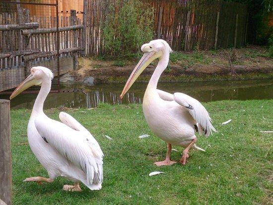 Planète Sauvage: pelicans