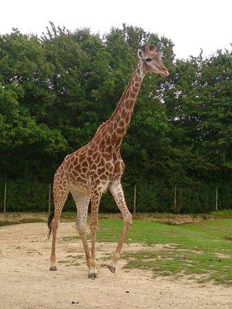 Planète Sauvage: girafe..