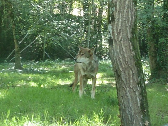 Planète Sauvage: wolf