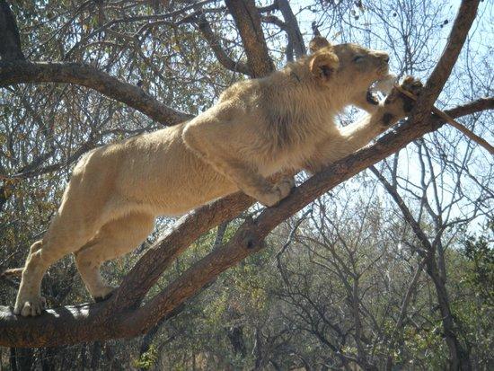 Ukutula Lion Park: Lions on lion walk climbing trees