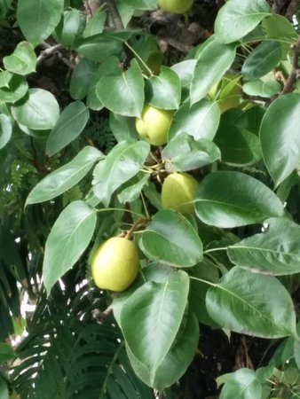 The Pear Tree : Pear laden tree
