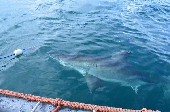 Shark Diving Unlimited: The white shark