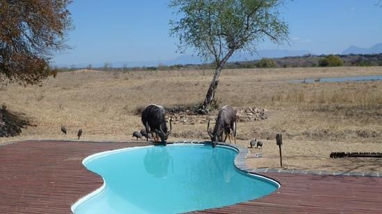 Tangala Safari Camp : Nyala and guinea fowles at the swimmingpool