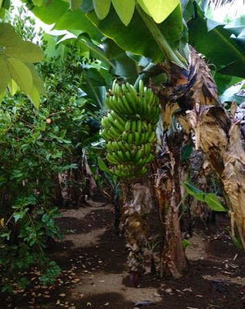 Casa Vitoriana: bananas in the garden