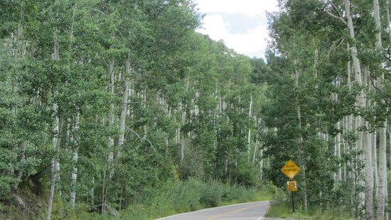Independence Pass: Aspen Tree Lined Drive