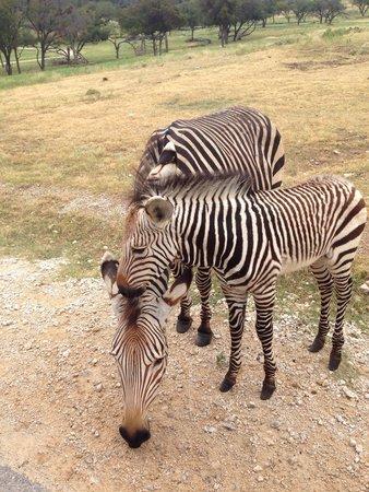 Fossil Rim Wildlife Center: Zebras!