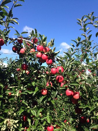 Honey Pot Hill: Beautiful day and great time picking apples at Honeypot