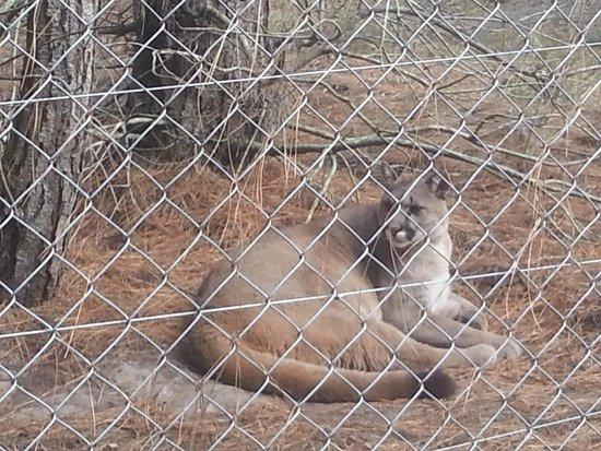 Jukani Wildlife Sanctuary : mountain lion