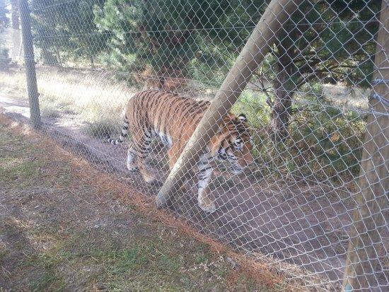 Jukani Wildlife Sanctuary: bengal tiger