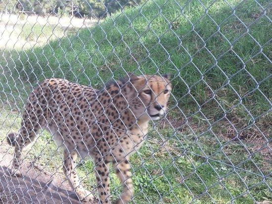 Jukani Wildlife Sanctuary: cheetah