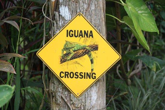 Hotel La Palapa Eco Lodge Resort: Achtung Iguanas