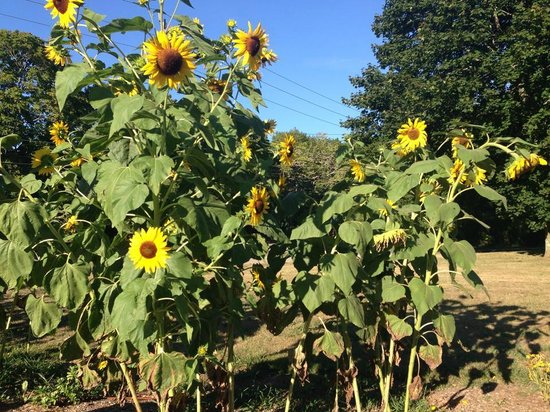 Cedar House on Sound B&B: Beautiful Sunflowers