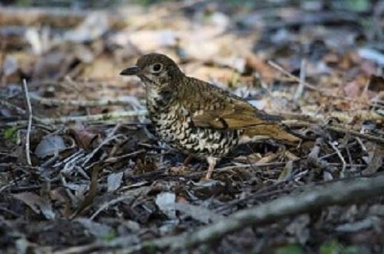 Eungella Mountain Edge Escape: Russet-tailed thrush, photo courtesy of Bill Cameron, Mackay.