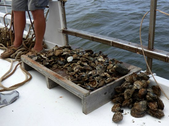 Skipjack H.M. Krentz: Oysters dredged up during our cruise