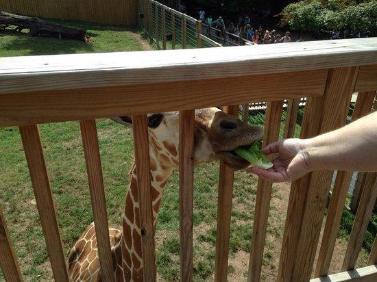 Elmwood Park Zoo: Feeding the Giraffe