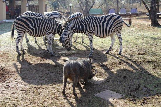 Royal Kruger Lodge : The evening visitors