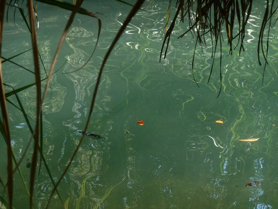 Berry Springs Nature Park : Fish in Lower Pool