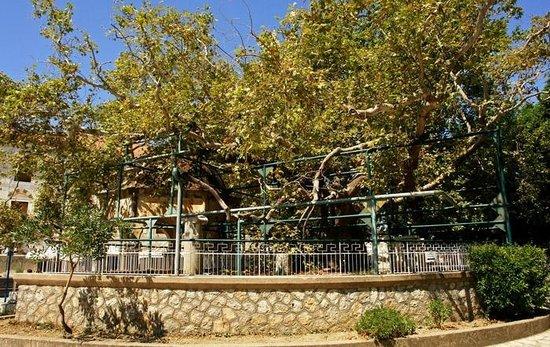 Hippocrates Tree: Hippocrates Platan