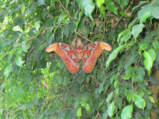 L'Ile aux Papillons: Papillon cobra
