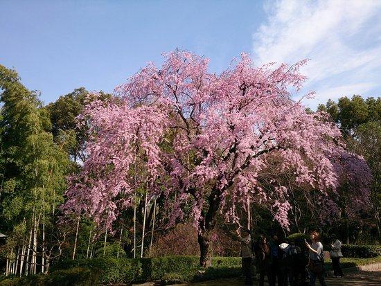 Tojo House : 枝垂桜