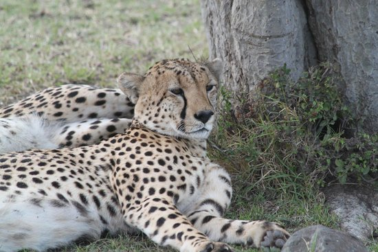 Mara Bush Houses, Asilia Africa: Cheetah