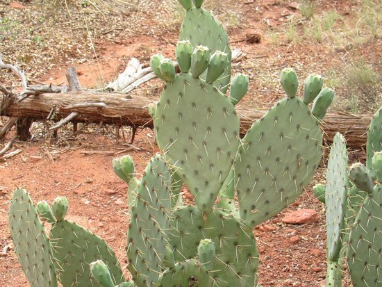 Court of the Patriarchs: funny cactus along the path looks like feet