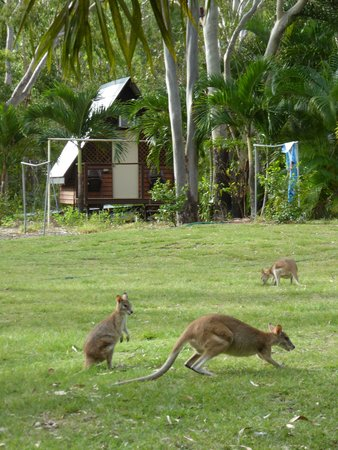 Bungalow Bay Koala Village: cabins and kangaroos