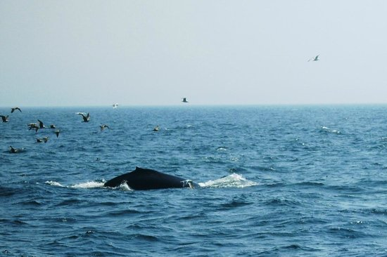 New England Aquarium Whale Watch : Coming up so we can see her