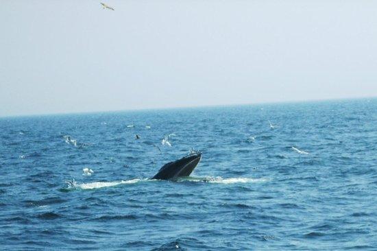 New England Aquarium Whale Watch : Mouth open- feeding