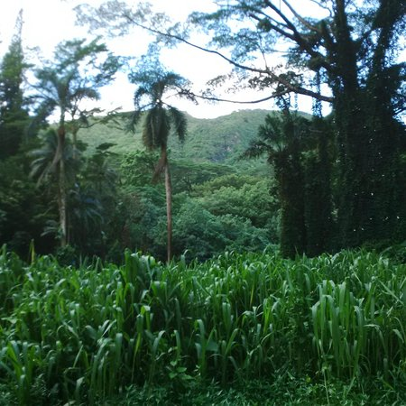 Manoa Falls: The Jurassic view walking in