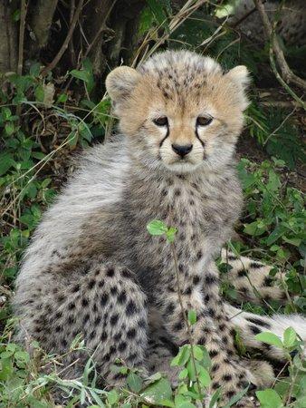 Enkewa Camp: Cheetah Cub