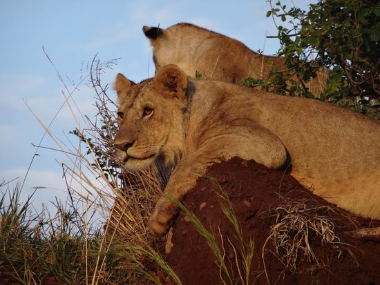 Enkewa Camp: Lions enjoying sunrise
