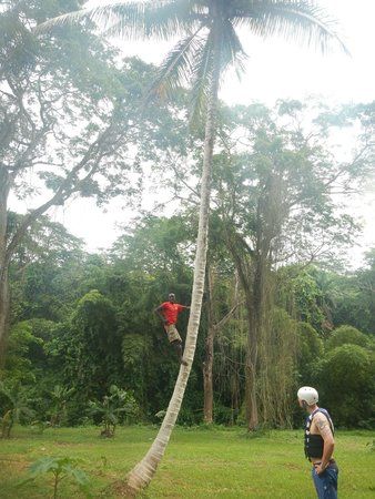 Island Routes Caribbean Adventures Montego Bay: Another tour guide climbing a coconut tree
