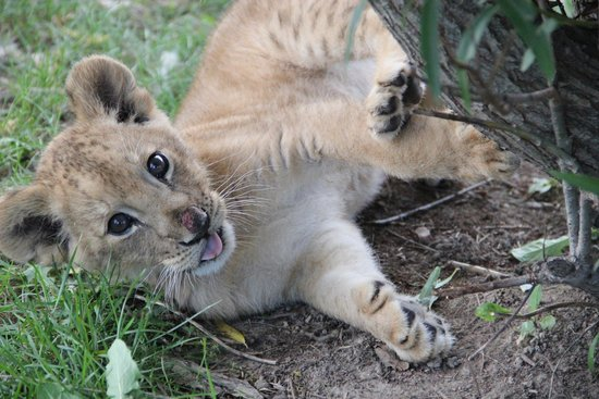 Smithfield, IL: Playful lion cub