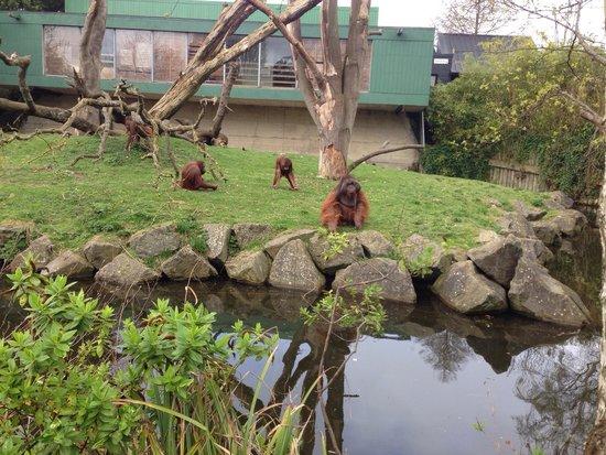 Dublin Zoo : Orang-utans